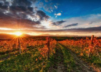 SUNSET ON THE VINEYARD, SICILIAN HINTERLAND ITALY
