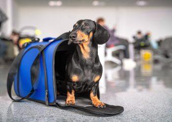 Perro salchicha esperando la salida de su avión